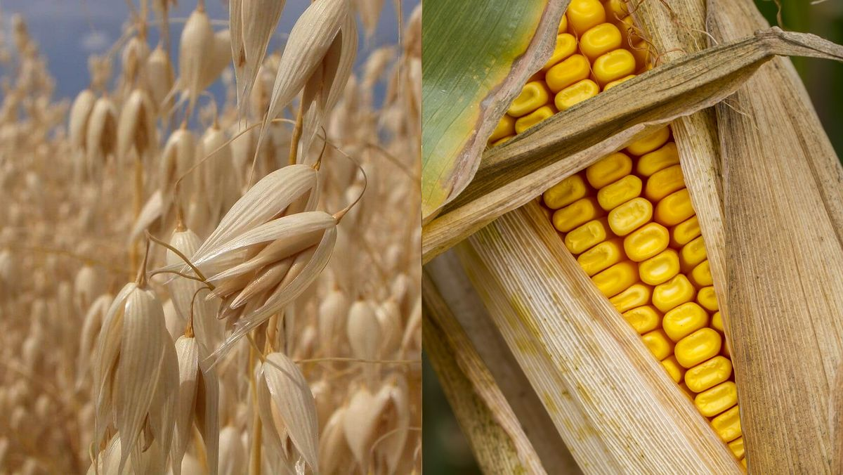 2. Zab és a kukorica